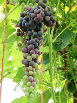 Grapes, grapes and more grapes