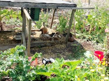 Ducks in the garden