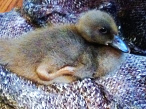 Duckly